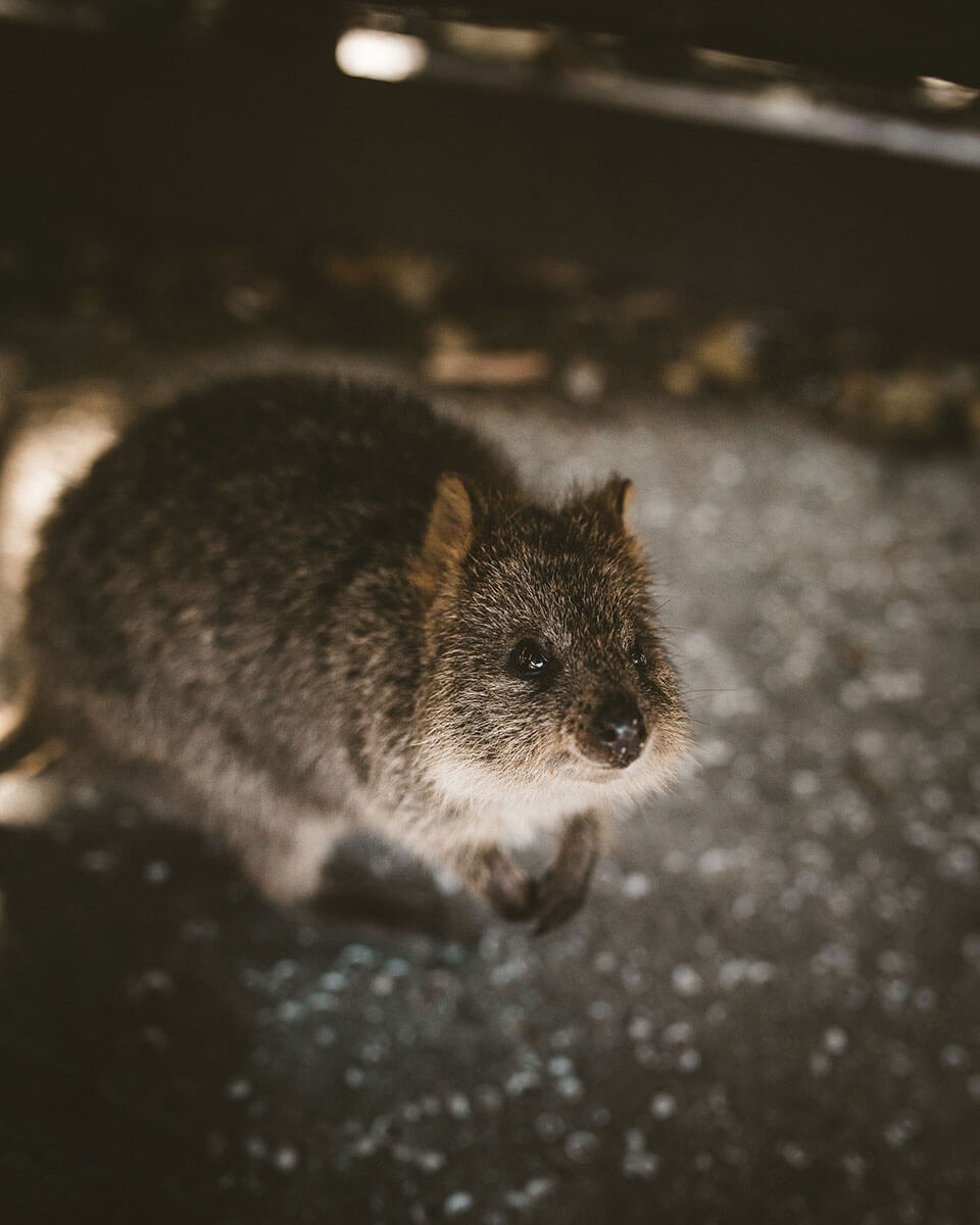 best-things-to-do-in-perth-quokkas-selfie-rottnest-island-perth